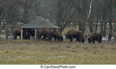 A large herd of European bison eating grass against the background of the forest, 4K, landscape