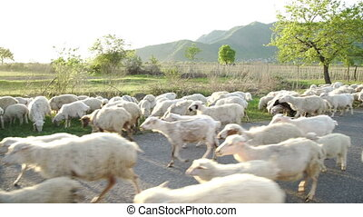 A large herd of sheep walk on a paved road