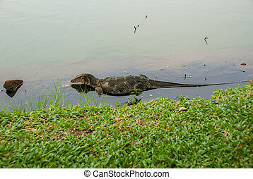 A large lizard. Iguana in the water. Bangkok.Thailand