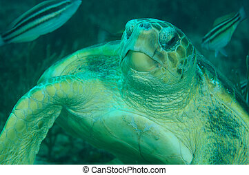A Large Loggerhead Turtle resting on the reef.