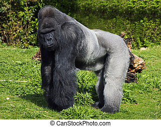 A large male silver back western lowland gorilla standing in a powerful position surveying his teratory
