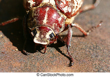 large May beetle - A large May beetle as a specimen of a...