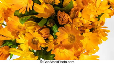 A large number of calendula flowers close-up, time lapse