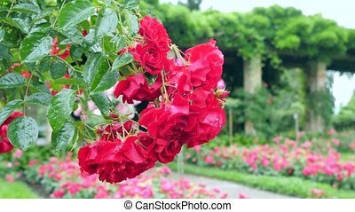 A large number of red roses hanging from the bush.