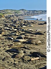 A large number of sea lions and elephant seals on the beach.