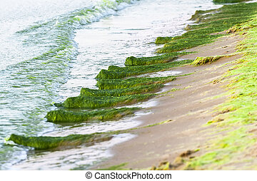 A large number of seaweed in the water