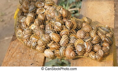A large number of snails on a snail farm before selling or ...