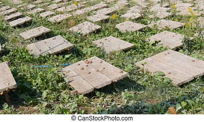 A large number of snails on a snail farm under wooden boards...