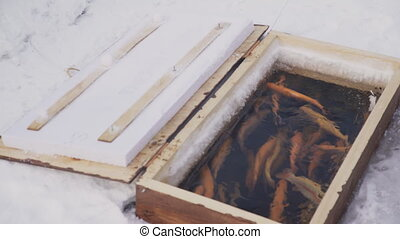 A large number of trout swimming in a water body wooden box....