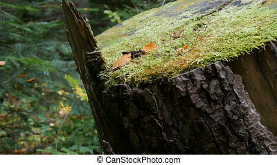 A large old stump on which green moss has already formed stands in the forest. Sawn in past tree