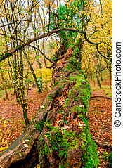 a large old tree covered with moss in an autumn forest