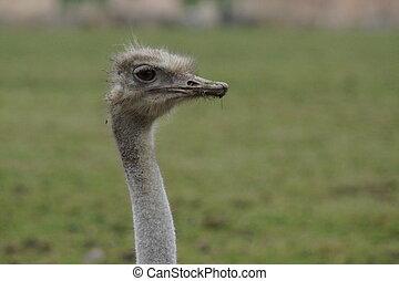 Ostrich - Struthio camelus - A Large Ostrich - Struthio ...
