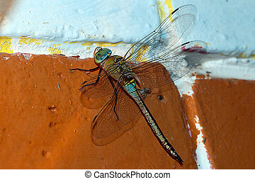 large predator dragonfly