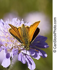 large skipper on a scabious flower