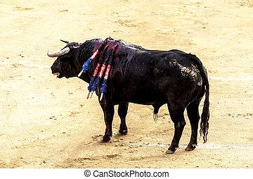 A large Spanish bull fighting. Spanish bullfight.