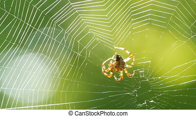 A large spider weaves a web on a tree in the summer. Web ...