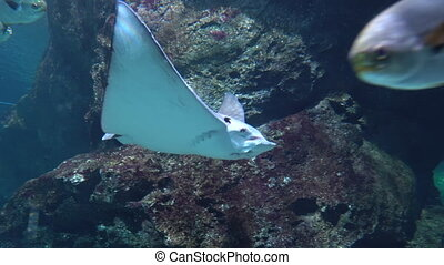 A large Stingray gracefully floating over the ledges of underwater rocks in clear water