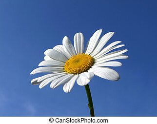 A large summer daisy against a blue sky.