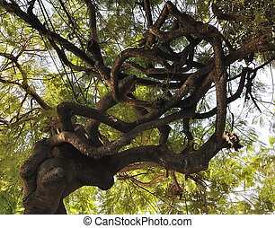 Tropical Tree - A Large Tropical Tree With Twisted Branches