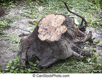A large uprooted tree stump with roots.