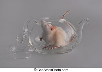 A large white domestic rat with a pink nose, eyes and tail sits inside a transparent glass teapot, next is a lid from the teapot on the gray background.