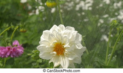 A large white flower under the rain.