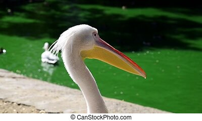 a large white pelican on a pond in the summer, a back view