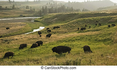 late afternoon shot of a bison herd by the lamar river in yellowstone