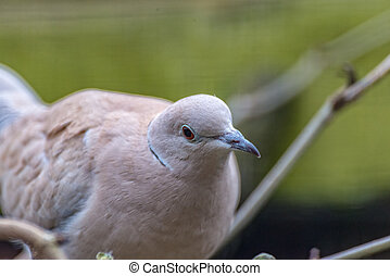 Laughing Dove looks straight into the camera