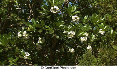 A leafy plumeria tree blooming with white flowers - A...