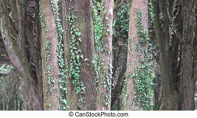 A Leafy Vines On Trees