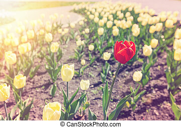a, ledig, rote tulpe