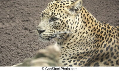A leopard gets tongue out in super slow motion
