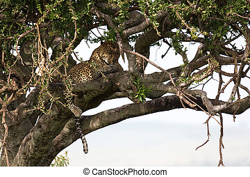 A leopard lies on the branches of a tree