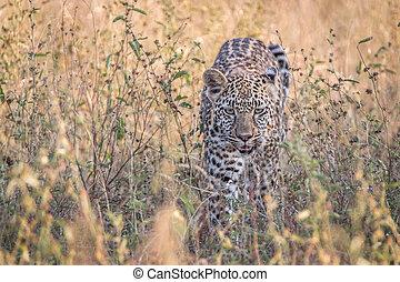 A Leopard walking in the grass.