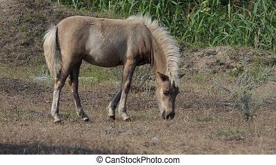 A light brown pony foal grazes grass on a lawn in slo-mo - A...