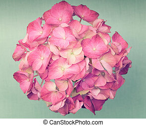 A light pink hydrangea flower on a dark blue background