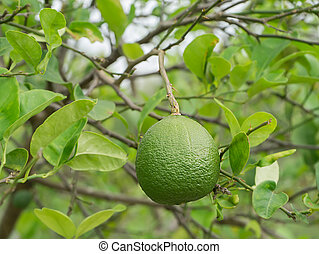 A lime fruit on tree
