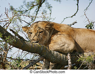 Lion resting on a tree