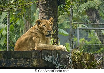 A Lion sitting on the wood bench