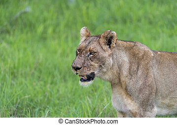 A lioness in the morning(2)