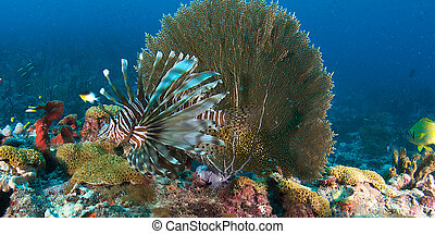 A lionfish swimming over a coral reef