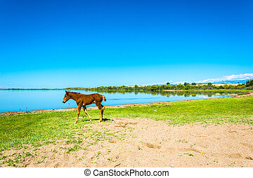 a, litet, föl, på, den, kust, av, insjö, issyk-kul, kyrgyzstan.