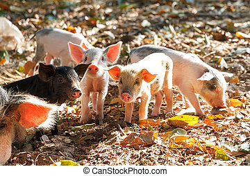 A litter of piglets - Cute piglets in the morning sun in...