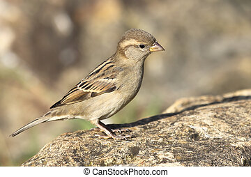 sparrow - a little and beautiful sparrow
