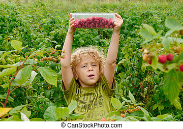 little blond boy picking raspberries in the garden