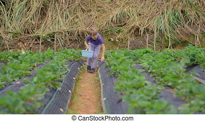 A little boy collects strawbery on an eco farm. Ecoturism concept.