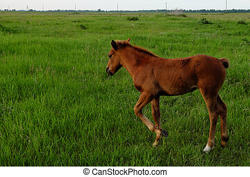A little brown foal stands on a green meadow.
