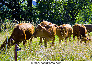 A little cow Herd on a meadow in Bavaria, Germany
