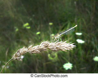 dragonfly sitting on the spikelet